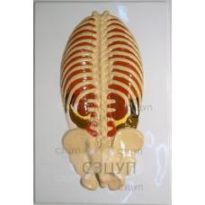 Модель барельефная Расположение органов брюшной полости (2 планшета)