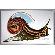 Модель барельефная Внутреннее строение брюхоногого моллюска