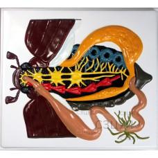 Модель барельефная Внутреннее строение жука