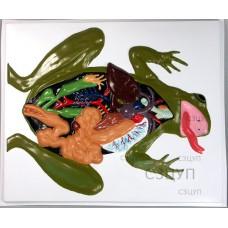 Модель барельефная Внутреннее строение лягушки