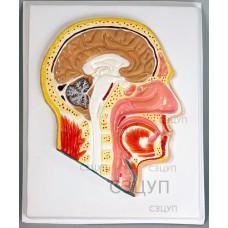 Модель барельефная Сагиттальный разрез головы