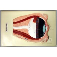 Модель барельефная Строение глаза