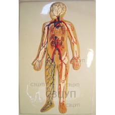 Модель барельефная Кровеносная система человека