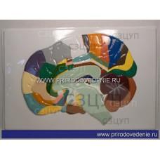 Модель барельефная Доли, извилины, цитоархитектонические поля головного мозга (5 планшетов)