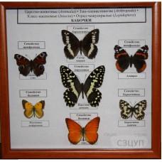 Коллекция энтомологическая Семейство бабочек