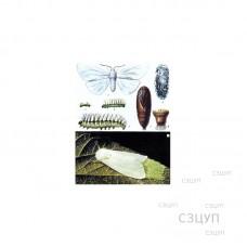 Коллекция энтомологическая Гусеница