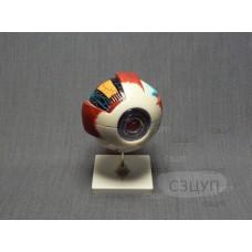Модель Глаз человека (увеличенная)
