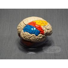 Модель Мозг в разрезе (раскрашенный)