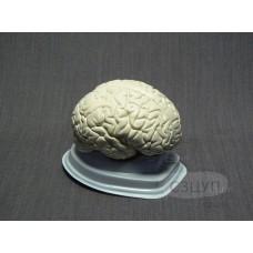 Модель Мозг в разрезе (белый)