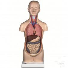 Модель Торс человека (миниатюрный)