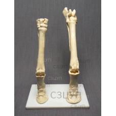 Скелет конечности лошади (передняя и задняя) на подставке