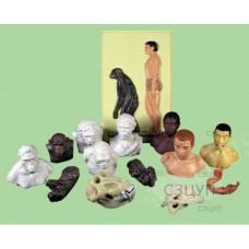 Набор моделей палеонтологических находок Происхождение человека